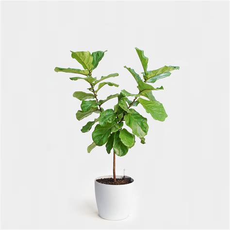 little plants fiddle leaf fig topiary greenery nyc