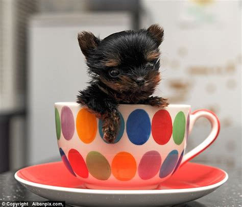 the smallest yorkie in the world is this the smallest puppy in the world tiny terrier weighs the same as a