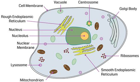 diagram of the animal cell cell command pre assessment filament