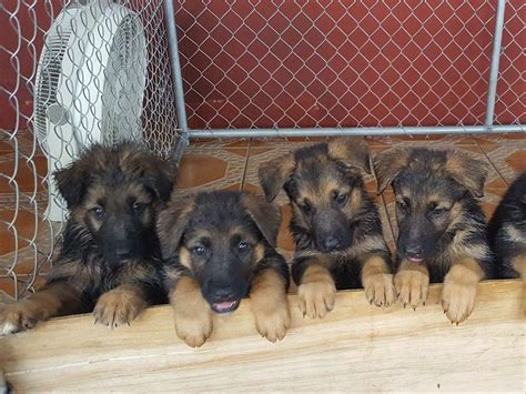 akc marketplace puppies german shepherd for sale by gustavo diaz american kennel club