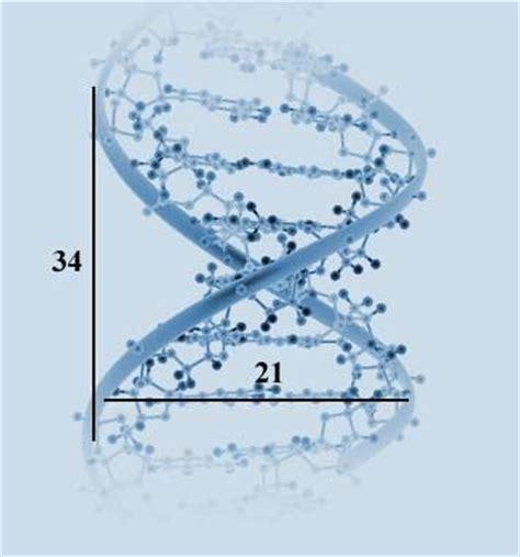 golden ratio dna spiral the very program of life itself the dna molecule contains