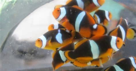 Makanan Ikan Hias Nemo teknologi budidaya ikan hias laut teknik budidaya ikan