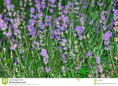 blooming lavender stock photos image 31780873