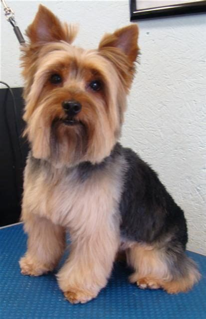 Blonde Yorkie Haircuts | great hairstyles animals pinterest yorkie
