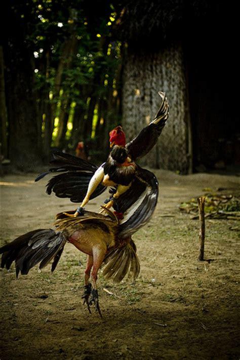 gallos de peleas de vicente fernndez vicente fernandez en vivo peleando sus gallos