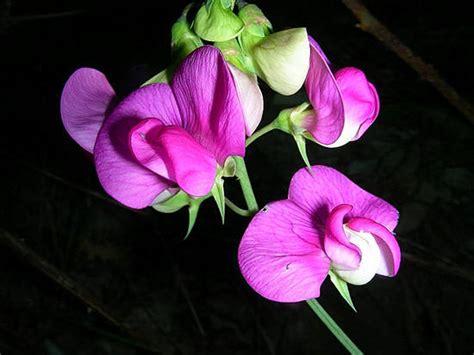 fiore pisello condividi la foto fiore di pisello selvatico dall album