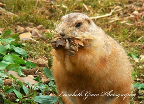 prairie dogs minneapolis 80 best images about prairie power on keep in prairie dogs and keep