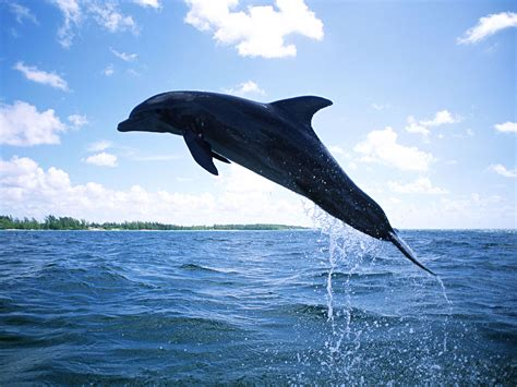 and dolphin dolphin diving wallpapers hd wallpapers id 7298