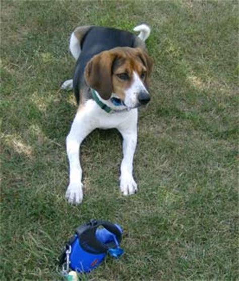 treeing walker coonhound puppies for sale treeing walker coonhound puppies breeders walker coonhounds