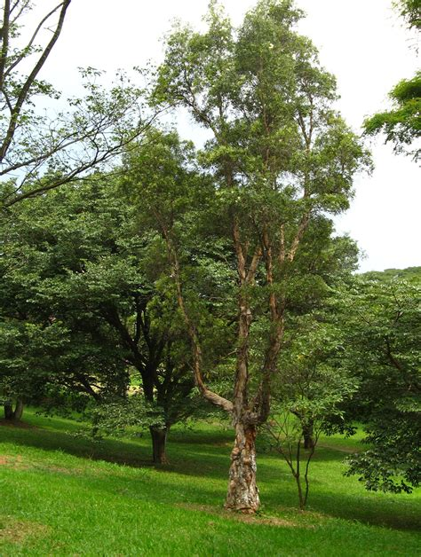 picture of tree file melaleuca quinquenervia tree 1 jpg