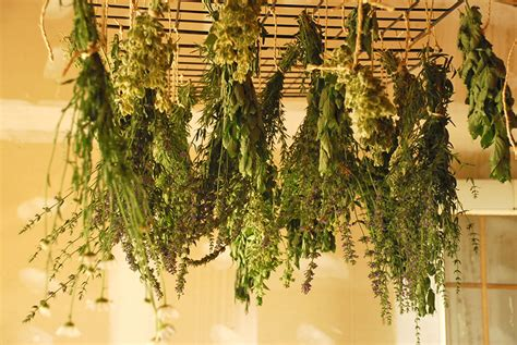 harvest and dry herbs at home pioneer dad