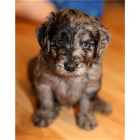 akita puppies for sale in va mini aussiedoodle puppies summer 2014 aussiedoodle and labradoodle puppies best