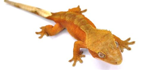 crested gecko colors crested gecko morphs lillyexotics geckos
