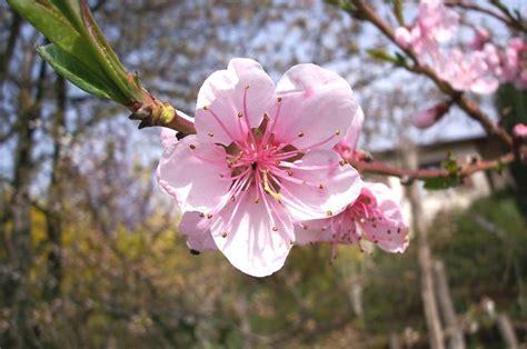 fiore di pesco fiori pesco fiori di piante caratteristiche dei fiori