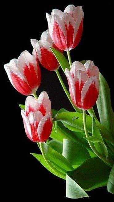 fiori di co primaverili angelillo florals flowers tulips flowers