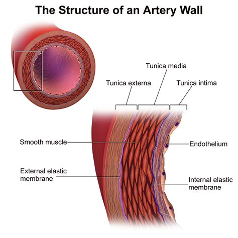 what color are arteries tunica media