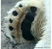 Polar Bear Claws Physical &amp Behavioral Adaptations  Bears