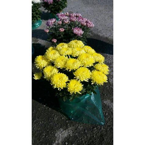 crisantemi in vaso crisantemi riviera piante