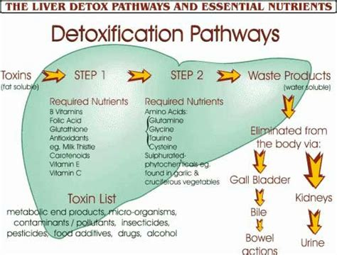 Detox Liver Before Or After A Candida Cleanse by Antioxidants And Detoxification Process Of Health And
