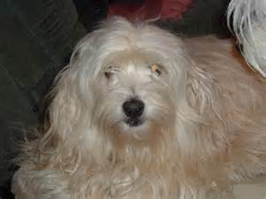Havanese image picture needs haircut hairstyles ideas