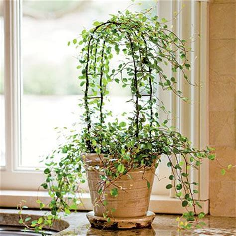 indoor vine plants 17 best ideas about topiary trees on pinterest topiaries