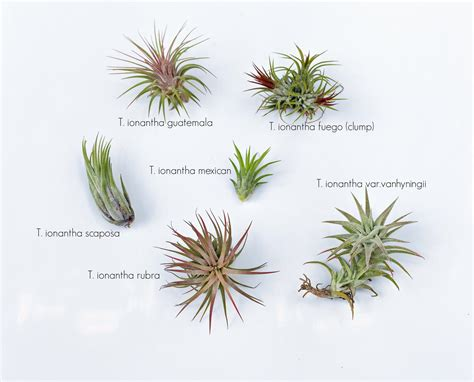 common tillandsia ionantha forms air plant design studio