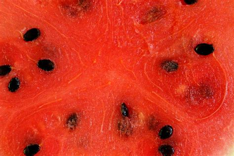 history of watermelon a short history of the seedless watermelon the garden