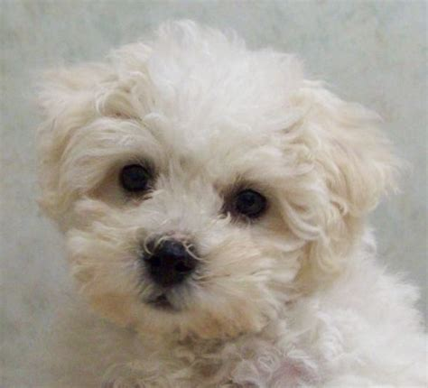 how much do maltese puppies cost how much do maltese puppies cost breeds picture