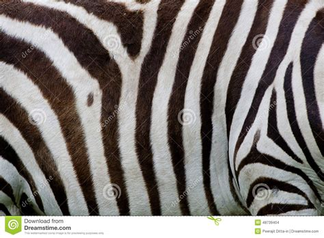what color is a zebra s skin zebra skin stock photo image 48739404