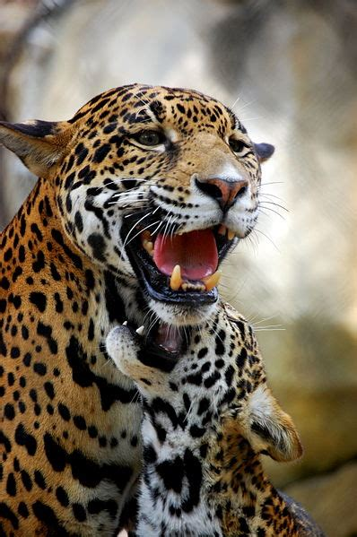 south american jaguar facts 10 interesting facts about the jaguar in fact collaborative