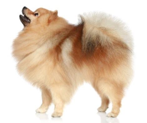 pomeranian with hair 10 pomeranian hair cut ideas