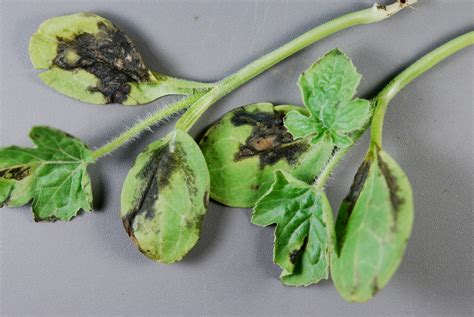 watermelon diseases cooperative extension