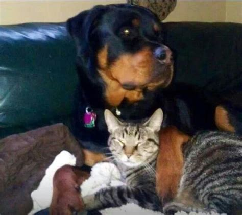 rottweiler and cats 42 best rottweiler with other animals images on rottweilers kittens and