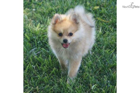 pomeranian st louis pomsky for sale in st louis breeds picture