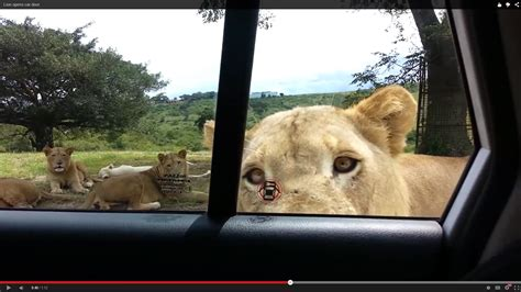 the forest open boat door lion opens car door youtube