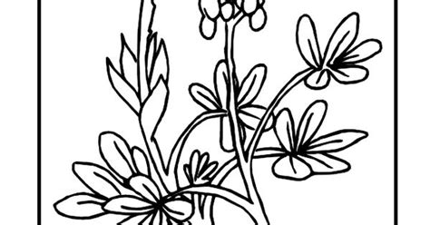 texas state flower coloring page bluebonnet usa