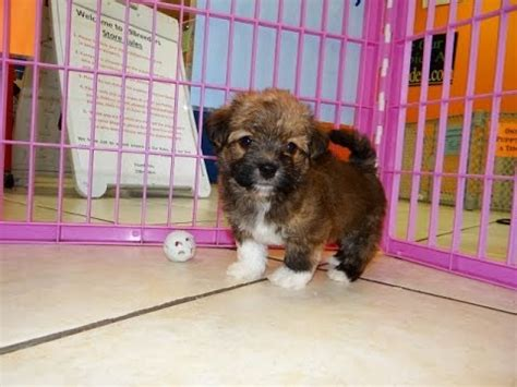 yorkie poo puppies for sale in chattanooga tn crossroads shih tzu rescue help needed after rescuing 17 dogs worldnews