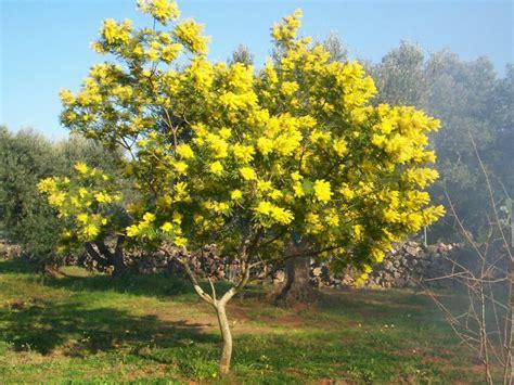 Garten Mieten Oder Kaufen by Soll Ich Eine Mimose Kaufen Garten Haus Garten