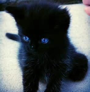 i want a black kitten with blue eyes animals