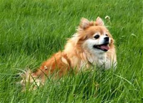 how often should you bathe a pomeranian senior pomeranians pomeranian information center