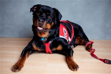 rottweiler service dogs falconcrest rottweilers stuart sue larsen