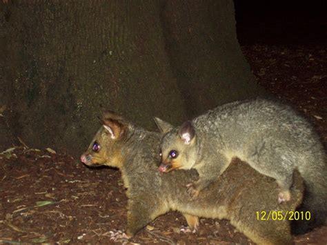 fotos animales nocturnos possum animales nocturnos se los puede ver en las plazas
