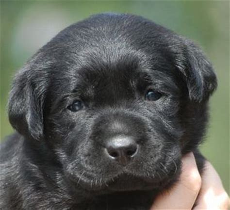 chocolate lab puppies mn family loved labs labradors for sale