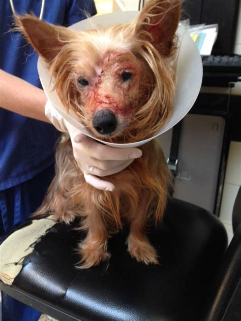 yorkie bloody diarrhea about our adoption fees
