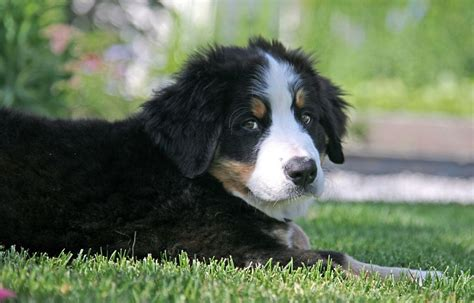 haired bernese mountain bernese mountain 2 10 from 31 votes haired bernese mountain breeds picture