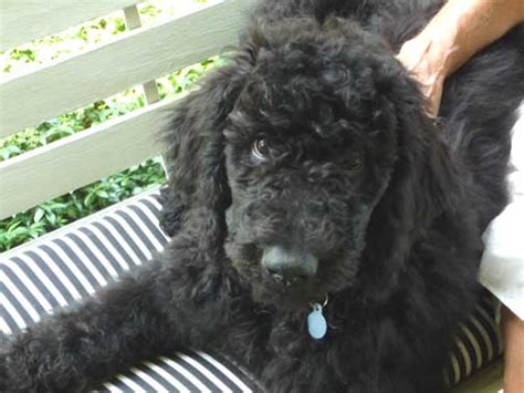 black standard poodle puppies black standard poodle puppies for sale dogs in our photo