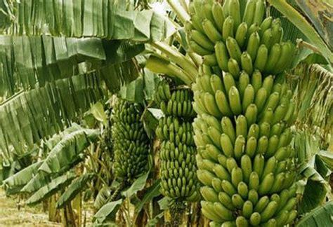 banana fruit tree banane fruit plantain arbre vert maliactu info mali