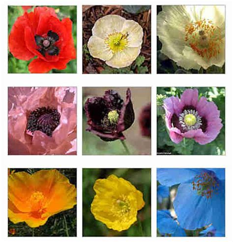 poppy flower colors discover different kinds of poppies hubpages