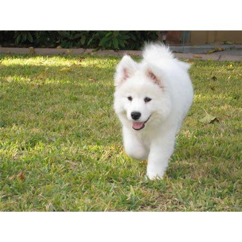samoyed puppies for adoption samoyed puppies for adoption beautiful