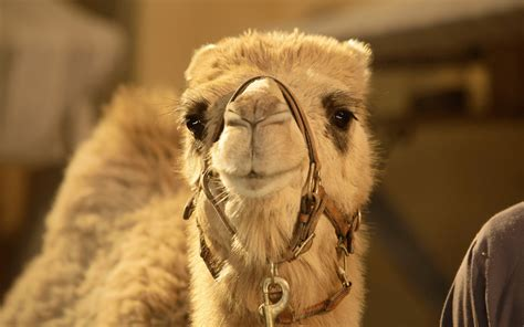 camel picture hd desktop wallpapers  hd